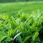 Russia stops tea imports from Sri Lanka